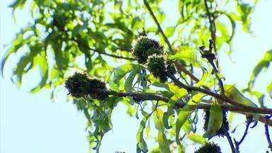Fungo causa doença em mangueira de produtor no Triângulo Mineiro - Após verificar que árvore parou de dar frutos, telespectador procurou reportagem para ter as dúvidas esclarecidas. Confira a opinião de um engenheiro da Universidade Federal de Uberlândia.