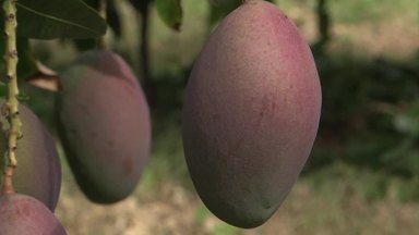 Mangas do Vale do São Francisco serão exportadas para a Africa do Sul - O fruto atualmente é aproveitado por países da América do Sul,Norte e Europa.