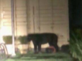Morador filmou onça preta em condominio residencial de Outeiro, distrito de Belém - Equipe do Ibama foi acionada para realizar o resgate do animal