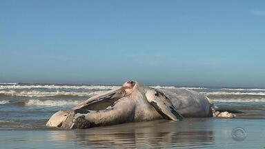 Baleia franca aparece morta na praia do Cassino, em Rio Grande - O RS é rota de migração das baleias nesta época do ano.