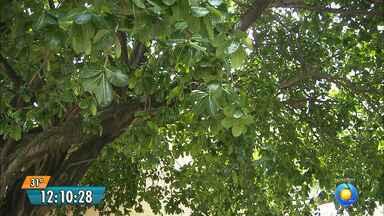 Homem morre ao tentar podar árvore no bairro de Jaguaribe, em João Pessoa - As pessoas precisam ligar para que a Seman faça essa poda.