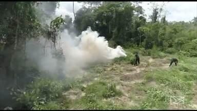 Operação da polícia descobre plantação de maconha no Maranhão - Ninguém foi preso na operação que aconteceu no final de semana na região do Alto Turi.