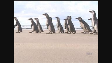 Após 3 meses de reabilitação, 19 pinguins são soltos em praia de Florianópolis - Após 3 meses de reabilitação, 19 pinguins são soltos em praia de Florianópolis