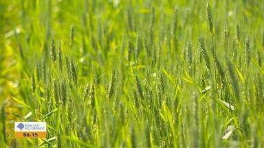 Colheita do trigo no RS começa em um mês e produção deve surpreender - Regiões Norte e Noroeste são as maiores produtoras do grão no estado.