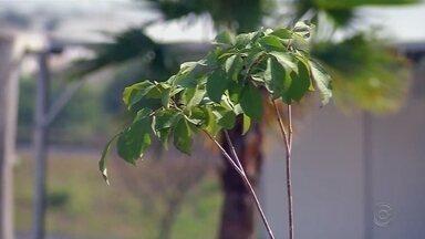 Crianças plantam 150 mudas de árvores no Parque da Cultura em Votuporanga - O Parque da Cultura de Votuporanga (SP) recebeu mais de 150 mudas de árvores. Elas foram plantadas ao redor da represa por centenas de crianças.
