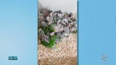 Filhotes de papagaios são apreendidos e polícia de MS fala em período de reprodução - Aves estavam espremidas em caixotes de papelão. Elas foram levadas para o Centro de Reabilitação de Animais Silvestres.