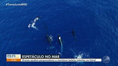 Drones ajudam pesquisadores a monitorar baleias jubartes no litoral baiano - O projeto é compreender os hábitos dos animais durante o período reprodutivo.