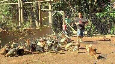 Galinha caipira pode ser opção de renda para a pequena propriedade - Em um sítio em Chapada dos Guimarães a criação de aves no sistema caipira já apresentou em um ano, os primeiros resultados. O manejo correto e boa alimentação das galinhas podem influenciar na produtividade.