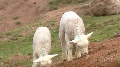 Conheça a técnica de esconder os testículos para deixar os cordeiros estéreis - O procedimento é uma alternativa à castração tradicional.