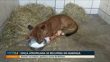 Onça atropelada em Jardim Olinda se recupera em clínica em Maringá - Animal, um macho, ganhou o nome de Mufasa.