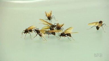 Começou o período da revoada das formigas - Nessa época do ano elas deixam os ninhos para formarem novos formigueiros.