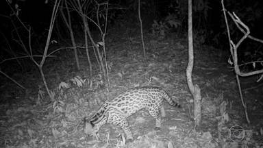 Lentes espiãs flagram vizinhos selvagens na região mais industrializada do país - Em três anos, Samuel Maria conseguiu registrar 19 espécies de animais em sua propriedade no município paulista de Monte Alto.