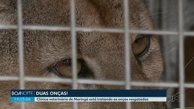 Filhote de onça é tratado em clínica de Maringá - O animal estava no alto de uma árvore em Paranavaí
