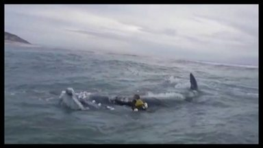 Surfistas salvam filhote de baleia franca no litoral de Santa Catarina - O filhote estava enrolado em uma rede de pesca.