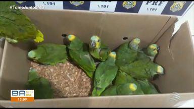 PRF resgata mais de cem aves dentro de um carro em Ibotirama, no oeste da Bahia - Os animais estavam sendo transportados em péssimas condições e seriam vendidos ilegalmente em Salvador.