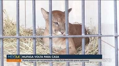 Animal que estava em recuperação depois de acidente é devolvido à natureza - A onça havia sido atropelada numa das estradas do noroeste do estado