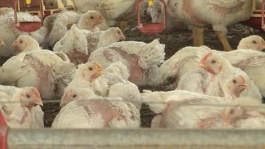 Conheça o trabalho de um dos maiores produtores de frangos da Bahia - Estado teve um aumento de quase 49% na produção de frangos nos últimos dez anos.