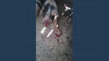 Polícia Civil indicia vereador suspeito de mutilar porcos em Brodowski, SP - Vizinhos flagraram José Aureo Furlan (SD) maltratando animais com tesouras.