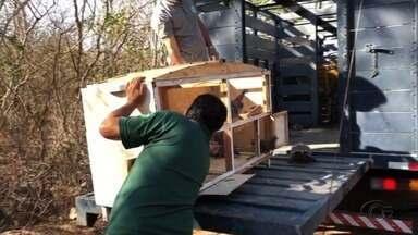 Cerca de 1400 animais silvestres são resgatados pela FPI do São Francisco - Nesta quinta, cerca de 300 animais retornaram à natureza.