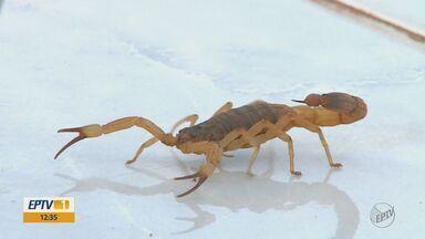 Alunos de Araras são transferidos de escola após aparecimento de escorpiões - Estudantes da Emei Dona Manoela Lacerda de Vergueiro ficarão até o fim do ano em outra unidade.