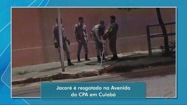 Bombeiros capturam jacaré em região próxima a shopping de Cuiabá - Bombeiros capturam jacaré em região próxima a shopping de Cuiabá.