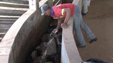 Segunda etapa da vacinação contra a febre aftosa termina no fim de novembro - Bovinos e bubalinos com idade de zero a dois anos devem ser vacinados. Mais de três milhões de cabeças precisam ser imunizadas em toda a Bahia.