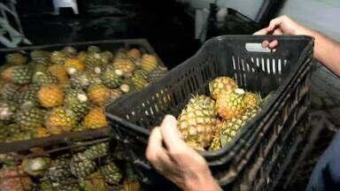 Produtores de abacaxi do Triângulo criam alternativas para minimizar custos na produção - Maior oferta da fruta no mercado também é preocupação em Monte Alegre de Minas.