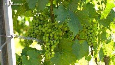 Produção de vinhos finos está comprometida em algumas regiões do RS - Uso incorreto de herbicidas está impedindo o crescimento das culturas.