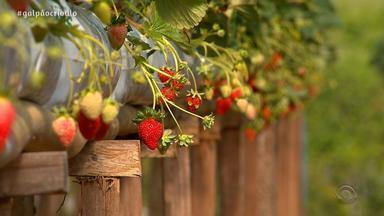 Produtores de morango têm expectativa de manter os números da safra passada - Prospecção é colher 23 mil toneladas de morango.