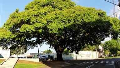 Árvore plantada há 100 anos virou símbolo de Piracicaba - Ela foi plantada para celebrar o fim de uma guerra. E mais: nova temporada do Verdejando vai trazer novas informações sobre meio ambiente.