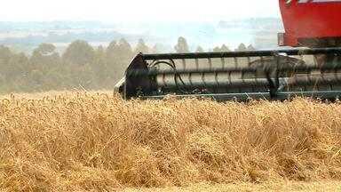 Produção de trigo diminui na colheita da safra 2018 no RS - 97% dos agricultores já colheram o grão.