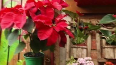 Festas de fim de ano aquecem o mercado das flores - Empresários afirmam que vendas aumentam até 50% nesse período.