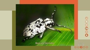 Besouro serrador causa estragos em árvores - Fêmea usa galhos e troncos para botar seus ovos.