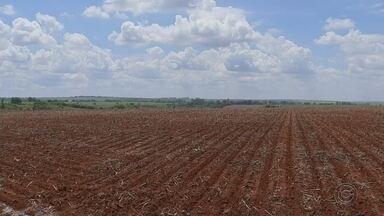 Produção de grãos cresce na região de Jaú - A produção agrícola de Jaú (SP) vem sofrendo uma transformação: nos últimos anos, a região antes dominada pelo plantio da cana-de-açúcar agora abre espaço para a produção de grãos. Em cinco anos, a área plantada de soja e milho cresceu de 1 mil para 12 mil hectares.