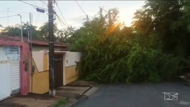 Árvores atacadas por ervas daninhas viram perigo para população em São Luís - Em muitos bairros da capital as árvores ameaçam cair sobre as casas por conta da ação da erva de passarinho.