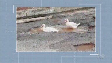 Patos são flagrados em poça de água dentro de buraco em Adelândia - Registro curioso foi uma forma de reclamação pelo mau estado de conservação da pista.