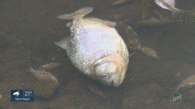 Peixes aparecem mortos na represa do Salto Grande, em Americana - Ainda não foi estabelecida a relação da morte dos animais com os aguapés que ocupam a superfície da água.