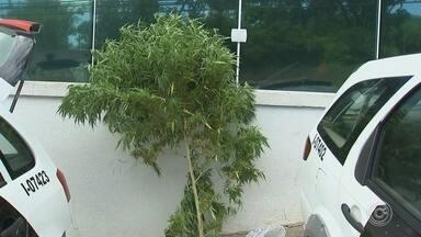 Rapaz é detido suspeito de cultivar pé de maconha em Sorocaba - Um rapaz foi detido suspeito de cultivar um pé de maconha em Sorocaba (SP). O pé, com quase dois metros de altura, foi apreendido na Vila Haro, zona leste da cidade.