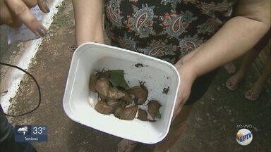 Moradores da Vila Biagione, em Araraquara, reclamam de infestação de caramujos - Saiba como eliminar os moluscos de forma correta.