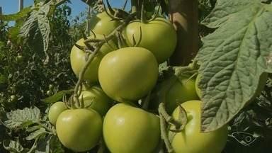 Reduz o número de produtores de tomate por conta dos preços baixos do produto, ES - Para quem não desistiu da atividade, a expectativa é de uma boa safra e de alta nos preços.