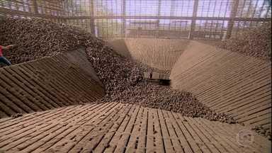 A palmeira babaçu rende diversos produtos - O coco é a parte mais valorizada do babaçu. Cada parte dele pode se transformar num produto: carvão, farinha, azeite e até artesanato. Pequenas agroindústrias surgiram para aproveitar esse potencial.