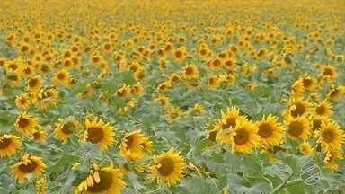 Girassol se torna opção para produtor diversificar as atividades - Planta é boa alternativa para promover a rotação de cultura na safra de inverno.