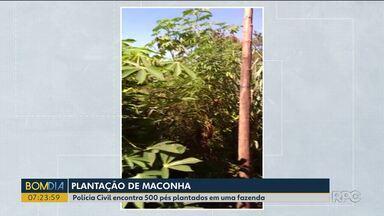 Polícia Civil encontra 500 pés de maconha plantados em uma fazenda - Uma parte da droga foi incinerada ali mesmo.