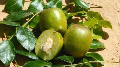 Produtores de Vitória da Conquista investem em plantação de umbu gigante - O fruto chega a pesar chega de 190 gramas. A árvore é símbolo do sertão após oferecer um grande leque de possibilidades de cultivo comercial.