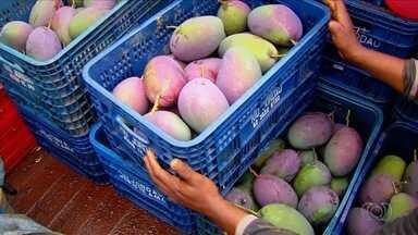 Confira a 1ª reportagem da série 'Cerrado, o roteiro das frutas' - Produtor investe em diversificadas frutas como manga, mamão, uva e maça em fazenda. Produção chega a 600 toneladas por mês.