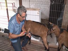 Telespectador tira dúvidas sobre a produção de bodes no sul do Maranhão - Telespectador queria saber como algumas cabras que estavam parindo não produziam leite para amamentar os cabritos.