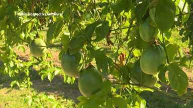 Parte 1: Pesquisadores da Embrapa aumentam tamanho da produção de maracujá no Acre - Técnica melhora geneticamente o fruto.
