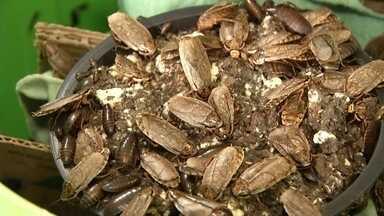 Você comeria farinha feita com barata? E biscoito de grilo? - Estudos indicam insetos como boa fonte de proteína e excrementos de baratas e larvas também servem como adubo.