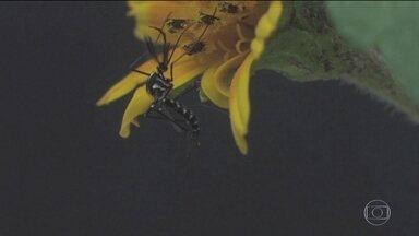 Dois tipos de mosquito foram responsáveis por transmitir Febre Amarela no Brasil - Pesquisa foi feita por pesquisadores da Fundação Oswaldo Cruz.