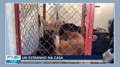 Lobo-guará capturado em residência é solto na natureza - Animal foi localizado em uma casa, em Adamantina.